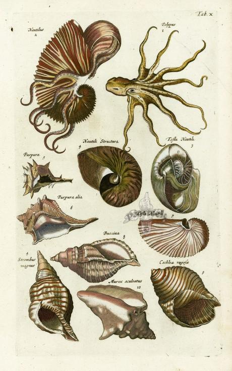 John Johnston, Matthaus Merian, engraving, engraved illustration, Historia Naturalis de Piscibus et Cetis, Libri V, 1657, fish, sea, underwater, mermaid
