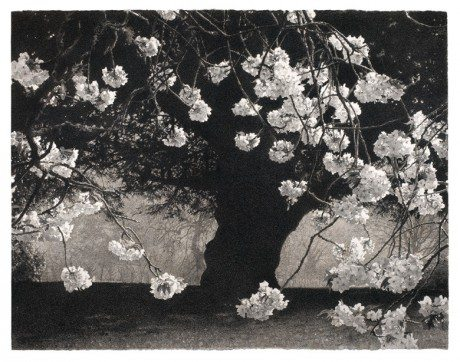 'CHERRY AND YEW', CHARCOAL AND SEPIA INK ON PAPER, 103 X 130CM, sarah gillespie, drawing, painting