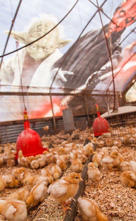 chicken coop, movie billboard, star wars, poultry farmer, Mark Anderson, chicken barn