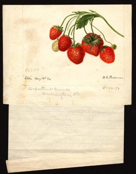 fruit, illustration, Deborah Griscom Passmore, 1840-1911, Fragaria, strawberry, 1891 - 1910