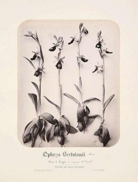 albumen print, flora photography, Pietro Giudi, Flore di San Remo, 1870, photography, vintage, antique, collectible