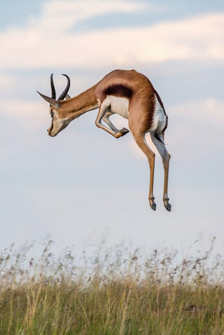 Springbok, antelope, gazelle, wildlife, wildlife photography, photography, nature
